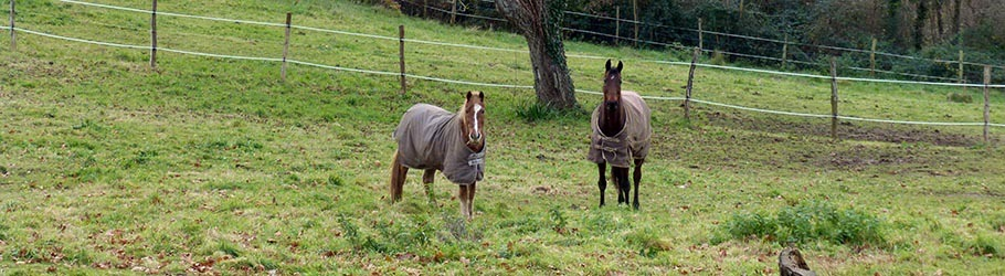 Horses wait for their ridingfriends in front of a tree